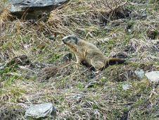 Free Groundhog/Murmeltier Royalty Free Stock Photo - 85263465