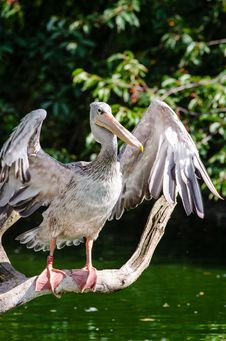 Free Pink-backed Pelican Stock Images - 85272614