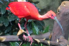 Free Scarlet Ibis Royalty Free Stock Photography - 85273217