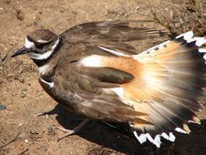 Free Kildeer Protecting Its Eggs Royalty Free Stock Photography - 85274527