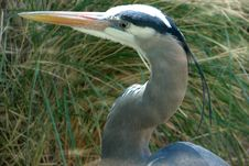 Free Great Blue Heron Closeup Stock Image - 85275421
