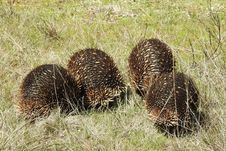 Free Echidnas On The March Royalty Free Stock Images - 85276529