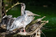 Free Pink-backed Pelican Royalty Free Stock Images - 85282469