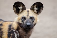 Free African Wild Dog Stock Photography - 85285992