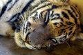Free Sleeping Young Tiger Royalty Free Stock Photos - 8533768