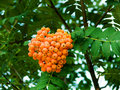 Free Mountain Ash Berries On A Branch Stock Photos - 8538903