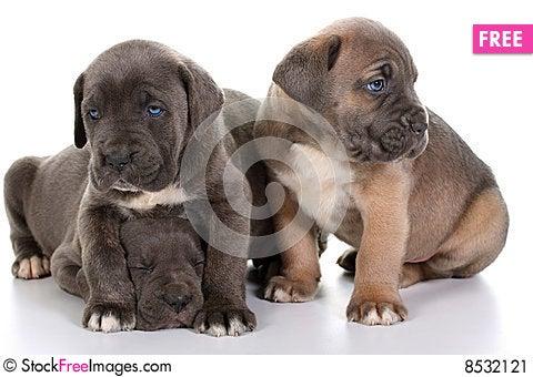 Pin Brown Cane Corso Italian Mastiff Cane Corso Italian Mastiff on ...