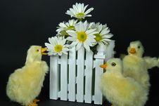 Free Daisy Ducks Royalty Free Stock Photography - 8530177