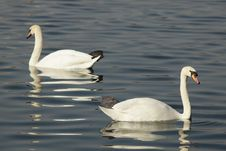 Free Swans In The Lake Stock Image - 8530181