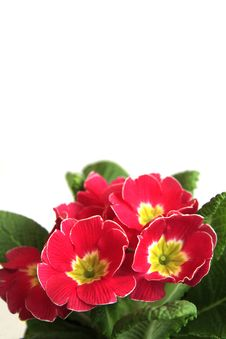 Free Beautiful Flowers On A White Background Stock Photos - 8531843