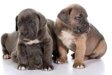 Free Italian Mastiff Cane Corso Stock Image - 8532121