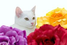 Free White Cat Royalty Free Stock Photography - 8532267