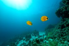 Free Masked Butterflyfish Royalty Free Stock Photos - 8532278