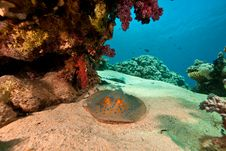 Free Coral, Ocean And Bluespotted Stingray Royalty Free Stock Photos - 8532538