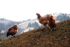 Three Red Chicken Royalty Free Stock Image