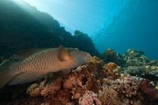 Free Coral, Ocean And Napoleon Wrasse Stock Photo - 8532600