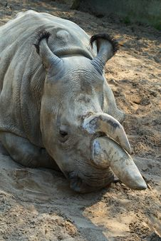 Free Rhinoceros-3 Royalty Free Stock Photo - 8532635