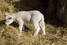 Free Spring Lamb Stock Images - 8533754