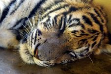 Sleeping Young Tiger Royalty Free Stock Photos