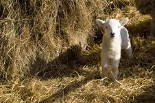 Free Spring Lamb Royalty Free Stock Photos - 8533798