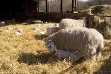 Free Lambing Stock Images - 8533844
