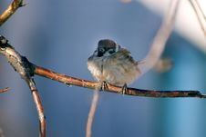 Sparrow On A Branch Royalty Free Stock Photography
