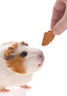 Free Guinea Pig Royalty Free Stock Images - 8534029