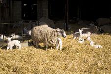 Free Lambing Stock Images - 8534074