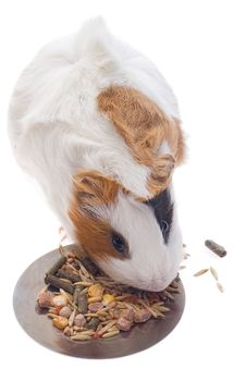 Free Guinea Pig Royalty Free Stock Image - 8534846