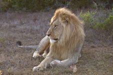 Free Lion Blonde Royalty Free Stock Photo - 8535085