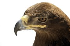 Free Portrait Of Steppe Eagle Royalty Free Stock Photo - 8535965