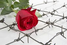 Free The Barbed Wire With Rose. Stock Photos - 8536503