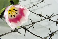 Free The Tulip And Barbed Wire Stock Photos - 8536553
