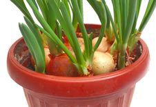 Free Green Onion Stock Image - 8537761