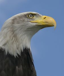 Free Bald Head Eagle Royalty Free Stock Photo - 8537805