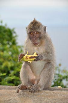 Free Monkey Royalty Free Stock Photos - 8539218