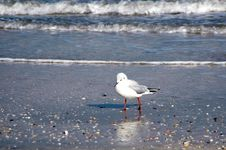 Free Seagull On The Beach Royalty Free Stock Image - 8539646