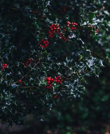 Free Close-up Of Red Berries Growing On Tree Royalty Free Stock Image - 85361356