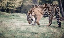 Free Tiger Walking In A Field Stock Photos - 85361743