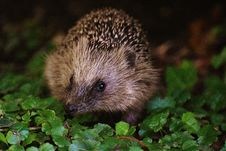 Free Brown And Black Hedgehog On Grass Royalty Free Stock Photography - 85365357