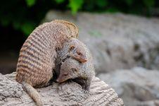 Free Mongoose Pile Stock Photos - 85379673