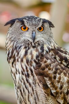 Free Eurasian Eagle-owl Royalty Free Stock Image - 85379726