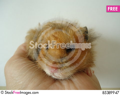 Free Syrian Hamster. Royalty Free Stock Photography - 85389947
