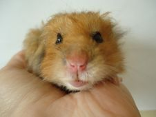 Free Syrian Hamster. Royalty Free Stock Photo - 85389525
