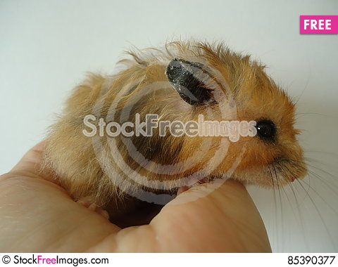 Free Syrian Hamster. Royalty Free Stock Photography - 85390377