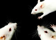 Free White Rat Trio Stock Images - 8540664