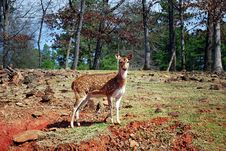 Free Hill Climbing Doe Royalty Free Stock Photos - 8540818