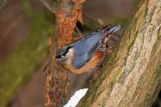Free Nuthatch Stock Images - 8540874