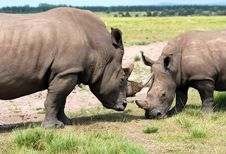 Free White Rhinoceros Royalty Free Stock Photos - 8540898