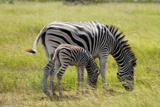 Free Burchell S Zebra With Calf Royalty Free Stock Photos - 8540918